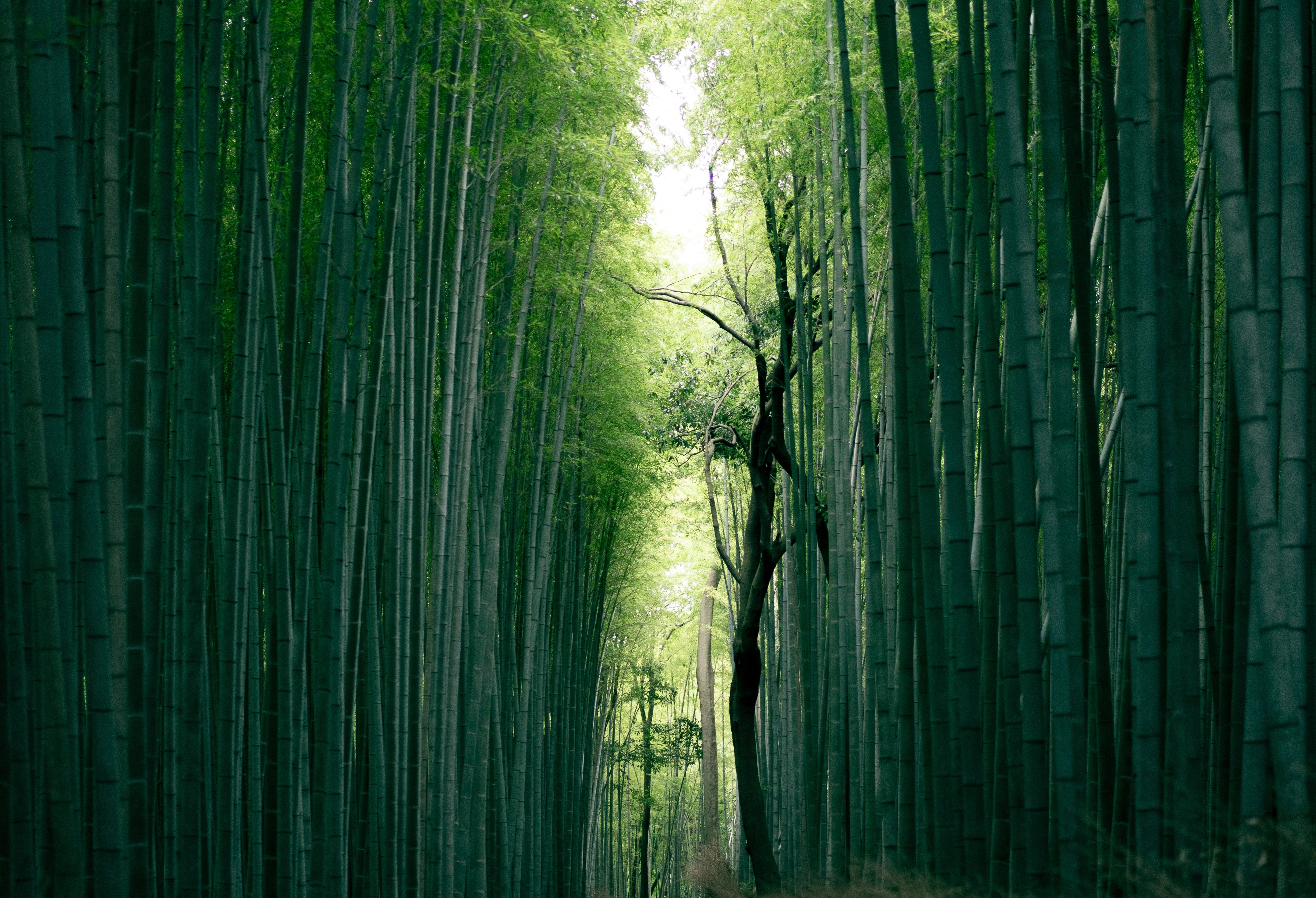 Photo by JuniperPhoton: Bamboo in Kyoto